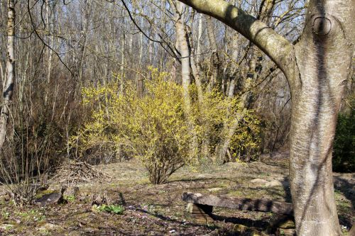 forsythia 1 romi 15 mars 2012 035.jpg