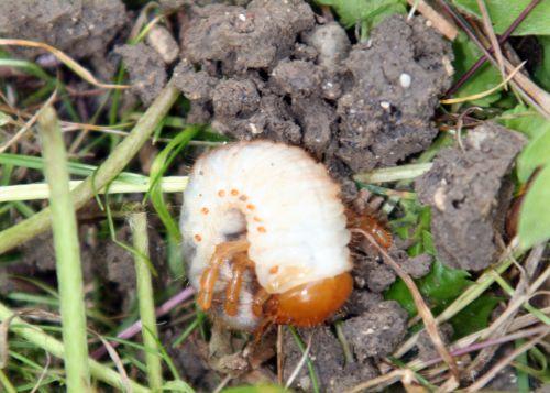 hanneton larve romi 22 juin 086.jpg