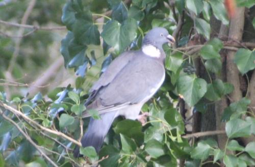 6 pigeon ramier graine rec veneux 15 janv 2016 022.jpg