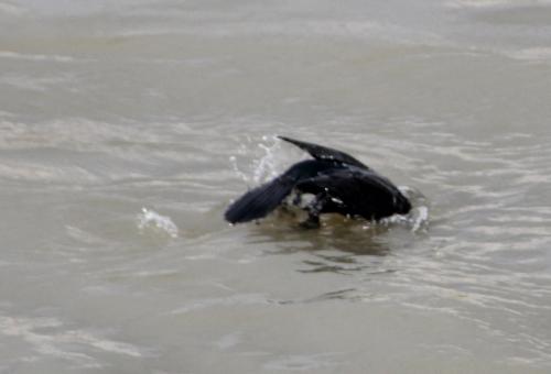 cormoran paris 31 janv 2015 207 (7).jpg