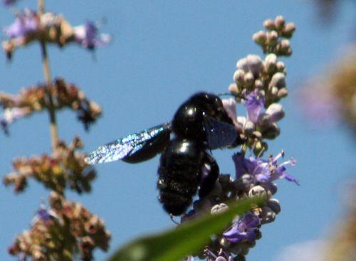 xylocope courtoiseau 11 sept 2010 028.jpg