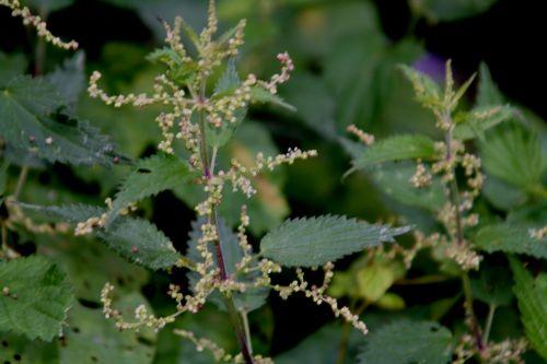 urtica mâle romi 29 août 2010 142.jpg