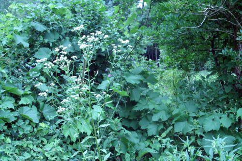 aster sauvage romi 22 juil 2010 153.jpg