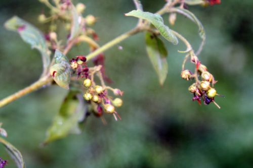 7 lysimachia vulgaris romi 30 sept 2010 009.jpg