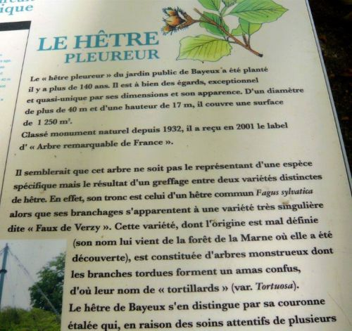3 hêtre de Bayeux 048.jpg