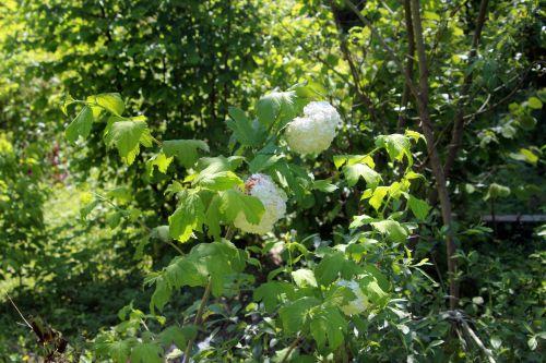 viburnum opulus 1 roseum romi 5 juin 2013 006 (1).jpg