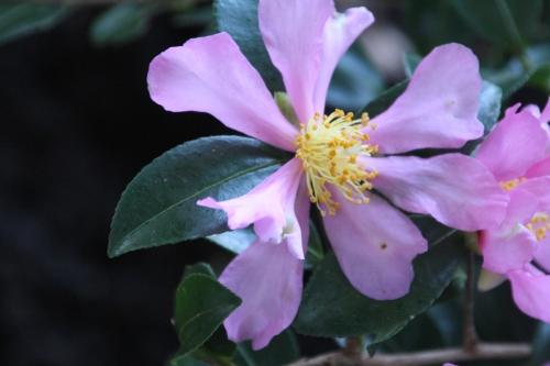 8 camellia sasanqua veneux 1 nov 2014 017 (3).jpg