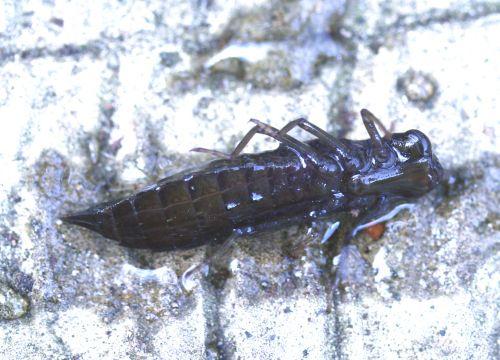 larve profil 21 février 025.jpg