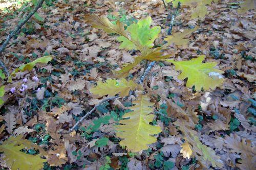 chêne feuilles barres 11 oct 165.jpg