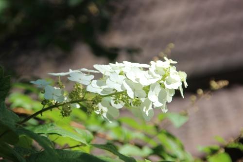 13 hydrangea quercifolia veneux 9 juil 2016 015.jpg