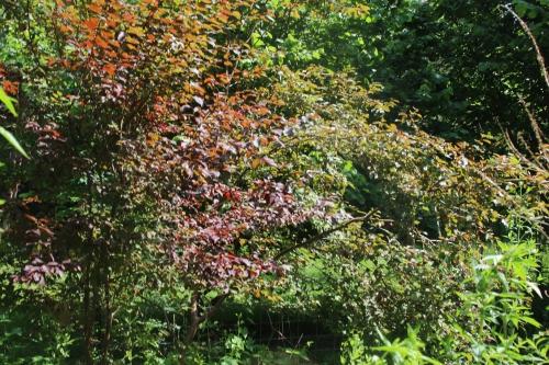 prunus rouge romi 8juin 2014 011 (1).jpg