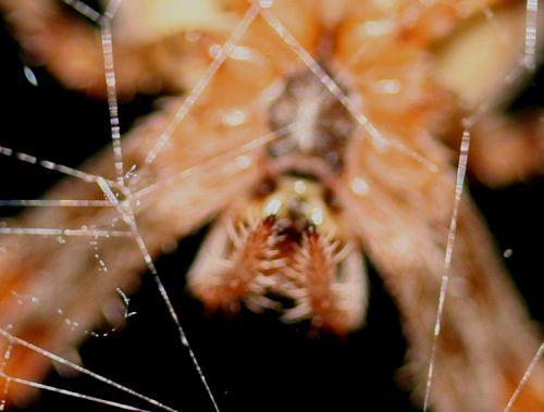 araignée tête 21 oct 013.jpg