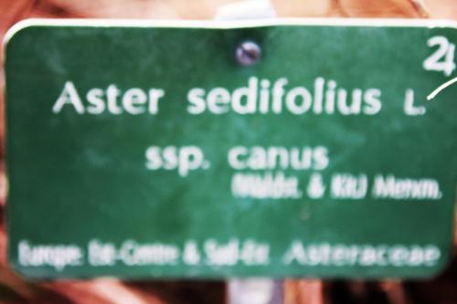 2 aster sedifollius paris 31 janv 2015 134 (2).jpg