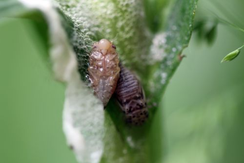 6 cicadelle romi 4 juin 2012 143 (5).jpg
