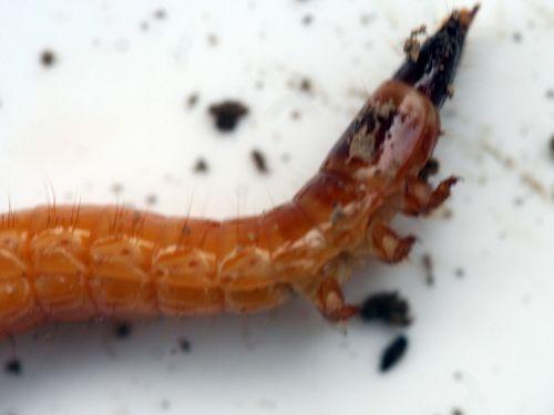 larve taupin avant romi 8 nov 023.jpg