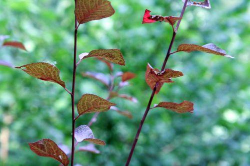 arbuste romi 1aoûi 2010 053.jpg