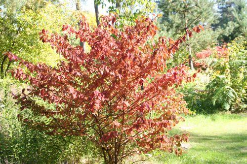 1 viburnum plicatum gb 16 sept 2007 035.jpg