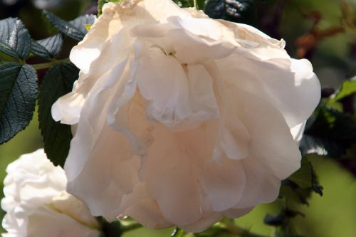 rugosa blanc double paris 4 mai 087.jpg