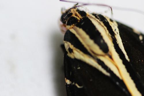 2 callimorpha quadripunctaria veneux 1 août 2015 018.jpg