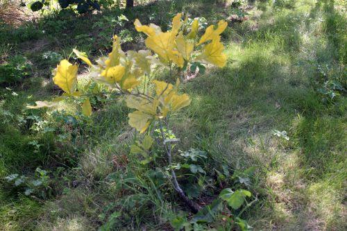 quercus marilandica romilly 22 juil 2012 093 (1).jpg