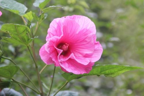 4 hibiscus moscheutos solene romi 11 sept 2016 101.jpg