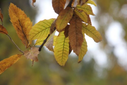 4 quercus acutissima paris 10 nov 2012 049 (1).jpg
