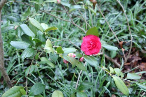 camellia 10 avril 2013 002.jpg