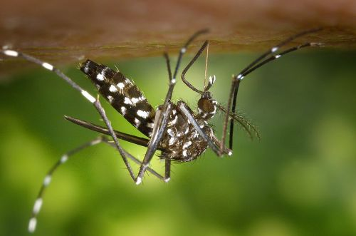 aedes 800px-CDC-Gathany-Aedes-albopictus-1.jpg