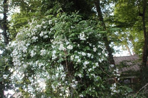 8 rosa mulliganii  veneux 24 juin 2016 017.jpg
