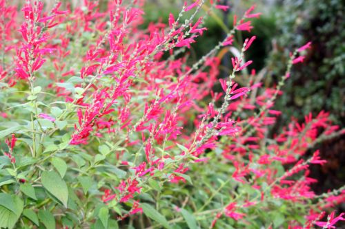 22 salvia rutilans paris 1 dec 054.jpg