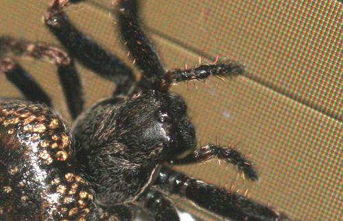 araignée tête veneux 16 mars 052.jpg