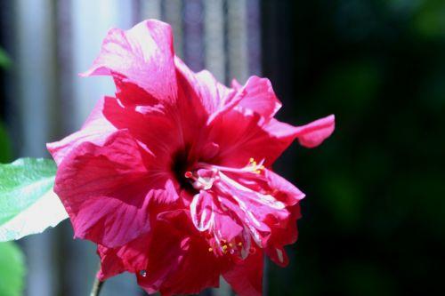 hibiscus 5 juin 001.jpg