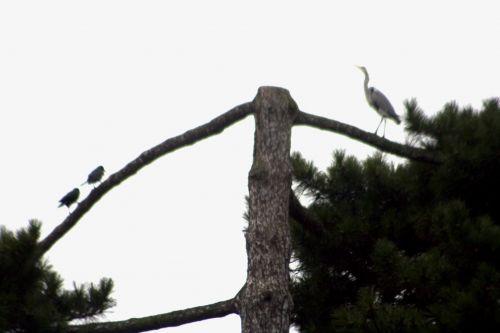 héron 2 oiseaux paris 9 fev 167.jpg