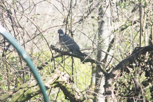 3 pigeon ramier veneux 9 avril 2015 004.jpg