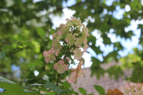 5 hydrangea quercifolia veneux 20 août 2016 011.jpg