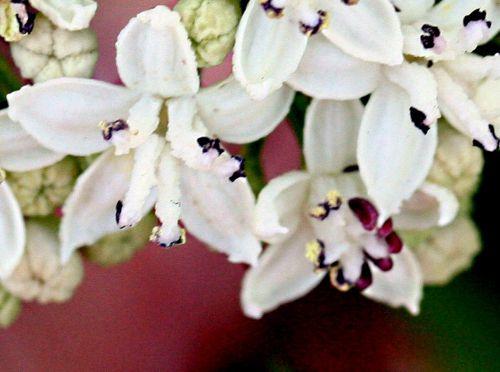 9 ebulus 2 fleurs p 27 juin 2010 009.jpg