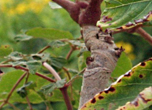 7 aralia spinosa tige près 12 août p 021.jpg