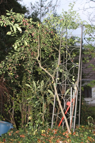 1 eriobotrya veneux 29 nov 2015 005 (2).jpg