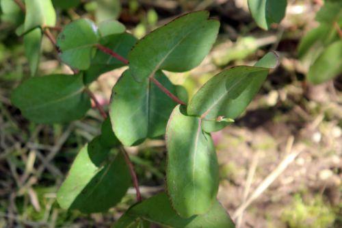 4 eucalyptus neglecta marnay 1 juin 2013 047.jpg