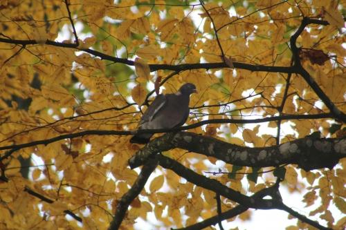 1 pigeon ramier veneux 23 nov 2014 011 (1).jpg