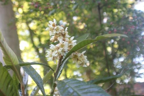 10 eriobotrya oliver veneux 14 oct 2017 006 (2).jpg