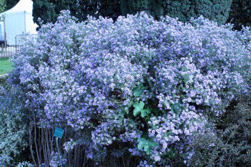 aster pilosus jardin des plantes 10 oct 025.jpg