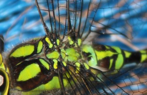 aeschne bleue thorax veneux 7 août 2015 005.jpg