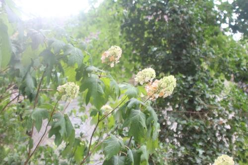 4 hydrangea quercifolia veneux 6 aout 2017 001 (1).jpg