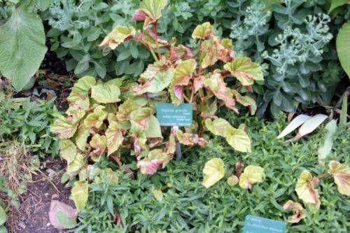 4 begonia grandis paris 2 juil 2011 184.jpg
