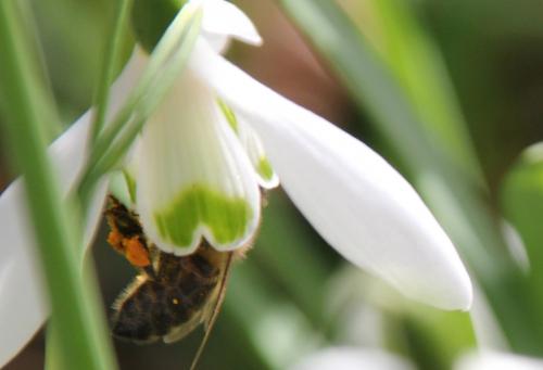 14 abeille veneux 28 fev 2015 038.jpg