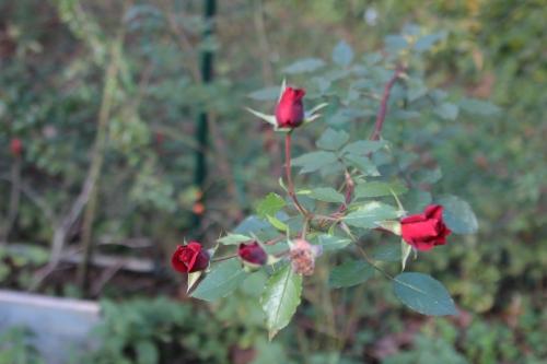 rosa romi 10 nov 2015 093.jpg