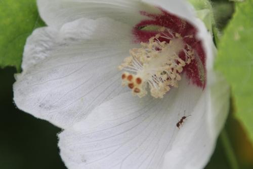 5 hibiscus para romi 19 juil 2015 169 (1).jpg