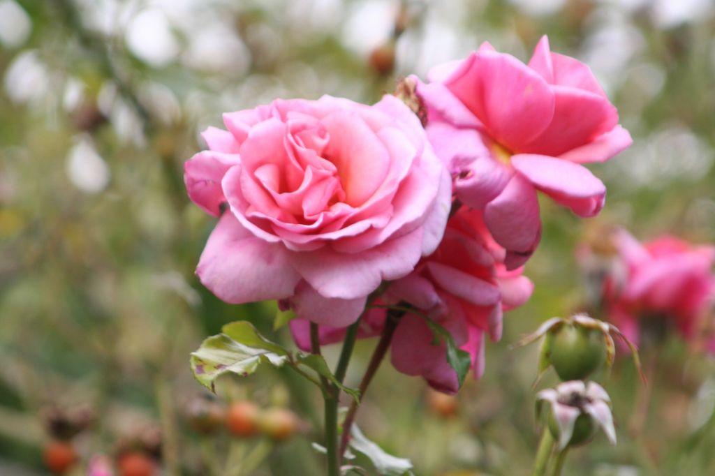 Roses de septembre 1740809886
