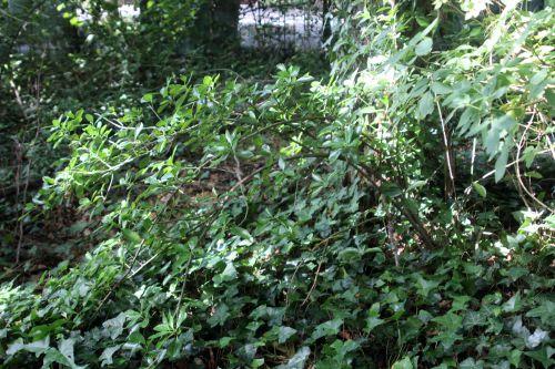 1 euonymus japonicus veneux 2 août 2013 001.jpg